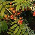 owoce lasu #OwoceLasu #jarzębina