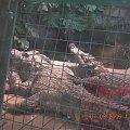 Hehehe chyba były zaspane :P Zieeewa się im :P :D #wrocław #zoo #zwierzę #krokodyl