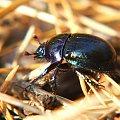 Żuk w rezerwacie Piskory #Piskory #rezerwat #żuk #chrząszcz