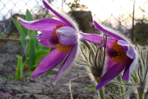 Działkowe kwiaty