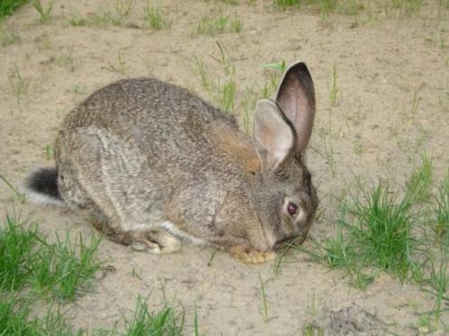 #królik