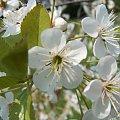 wiśnia #wiśnia #kwiat #drzewo